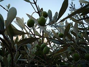 olive2009-2.jpg