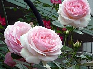 rose09-1.jpg
