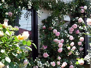 rose09-11.jpg