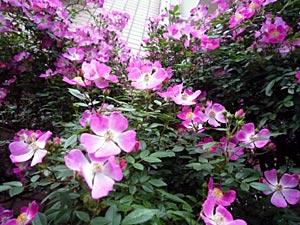 rose09-12.jpg