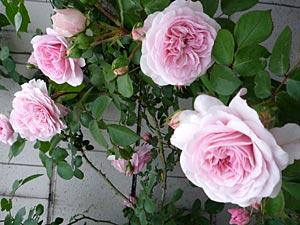 rose09-2.jpg