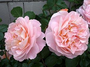 rose09-3.jpg