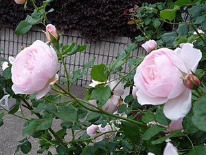 rose09-4.jpg