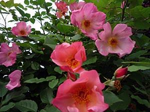 rose09-5.jpg