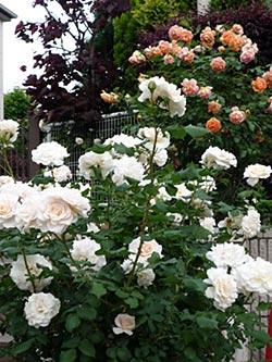 rose09-6.jpg