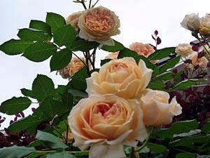 rose09-8.jpg