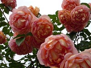 rose09-9.jpg