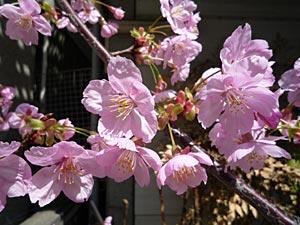 sakura2009-3.jpg