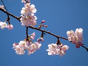 takao-sakura.jpg